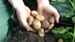 Kartofler_1
