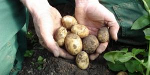 1-1-Øjvinds kartofler