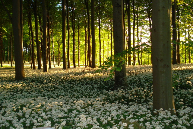 Forår i Brattingsborgskoven