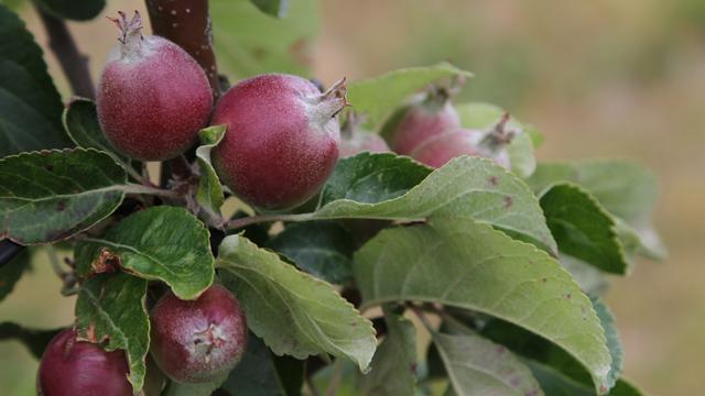 Appleman6