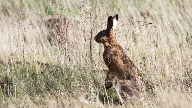Billede af hare på Samsoe