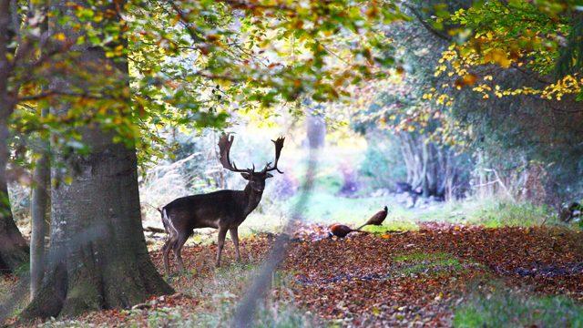 Billede ag hjort på Samsoe