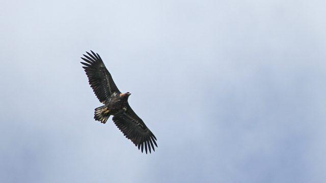 Billede af rovfugl på Samsoe