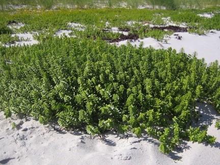 strandplanter1