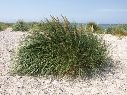 strandplanter4